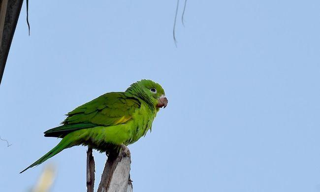 Visszatért a családhoz a 92 éves papagáj
