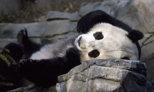 Megható videó: ikreket szült egy panda, de addig jó, amíg nem tud róla