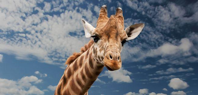 Érdeklődő zsiráf közelítette meg a párt, ami ezután történt, arra nem számítottak