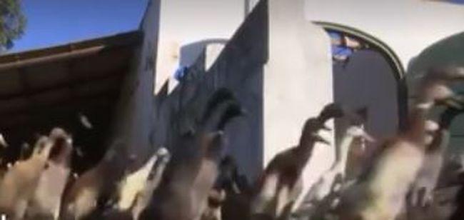 Ilyen lelkesen rohannak munkába a kacsák, hogy bort csináljanak - videó