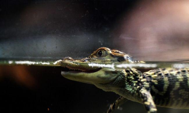 Élő adásban szégyenítette meg az aligátor a műsorvezetőt - videó