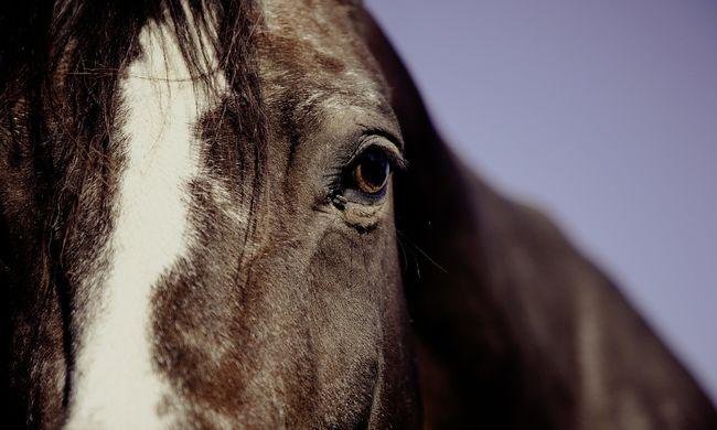 Állatkínzás: kocsija után vonszolta a sérült pónit