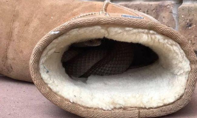 Csizmát akart húzni - egy mérgeskígyó aludt benne