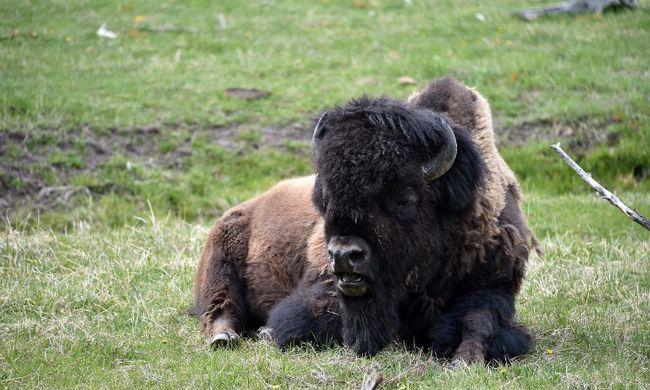 Kegyetlen állatkínzók mérgezték meg és fejezték le a híres bölényt