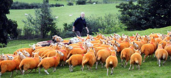 Furcsa lopásgátló módszer: narancssárgára festette a juhait a gazda