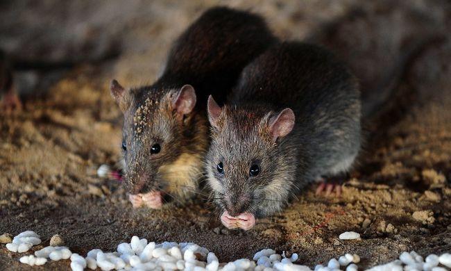 Több ezer patkány futkos Budapesten, ezt tehetjük ellenük
