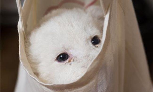 Csintalan és játékos a fehér oroszlán, aki már a születésétől fogva sztár