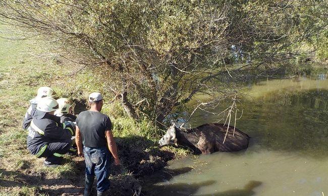Így mentették a folyóba esett nagykátai tehenet - képek