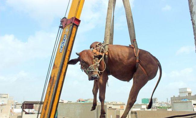 Daruval emelték le a tehenet és a bikát a tetőről - videó