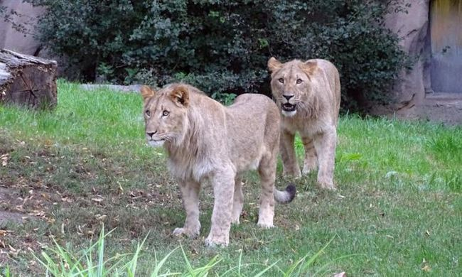 Elkóborolt két oroszlán az állatkertben