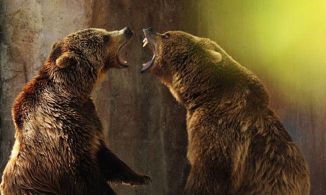 Nászra készülő medvék között találta magát a férfi