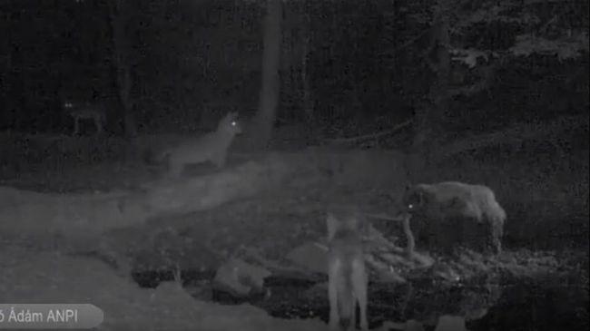 Vaddisznó futamította meg a farkasokat - videó