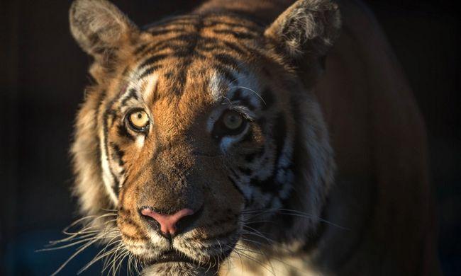 Családja szeme láttára marcangolták a tigrisek az apát - videó