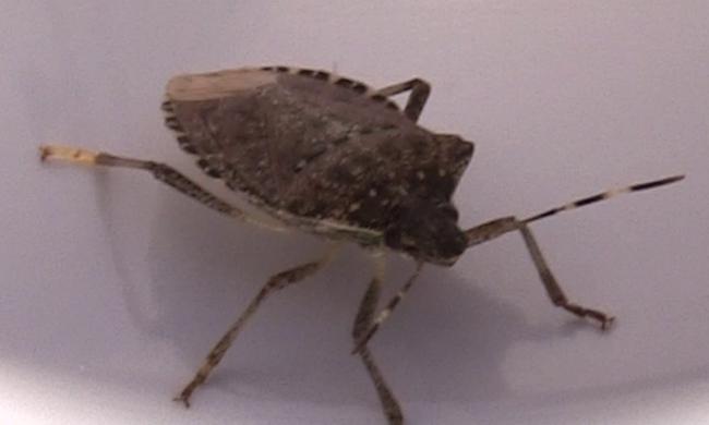 Országos poloskainvázió van, egy remény van a bogarak ellen