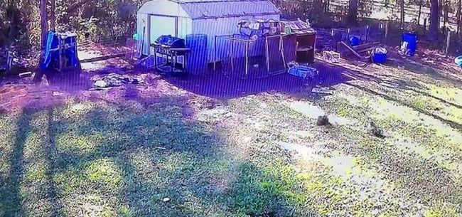 Magabiztos kacsa mentette meg a sólyomtól a csirkét - videó