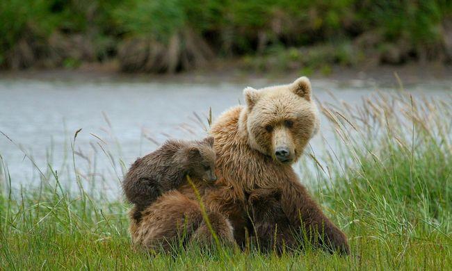 Medvecsalád kergetőzött az úton - videó