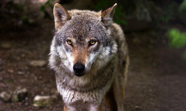 Visszatértek a farkasok Észak-Magyarországra