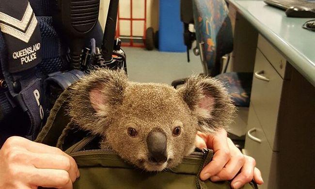 Koala bújt ki a hátizsákból