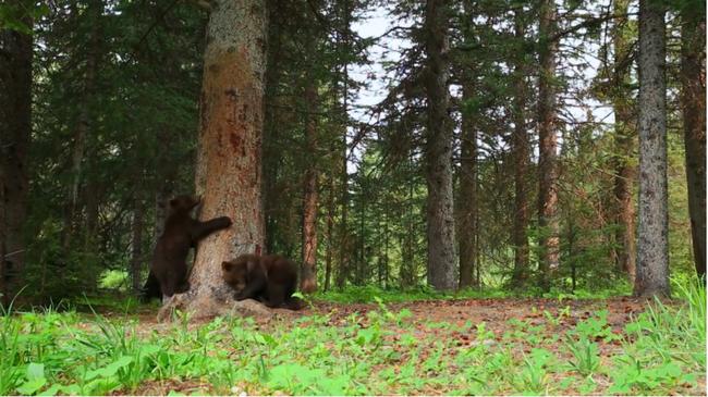 Táncoló medvékért őrül meg az internet - videó