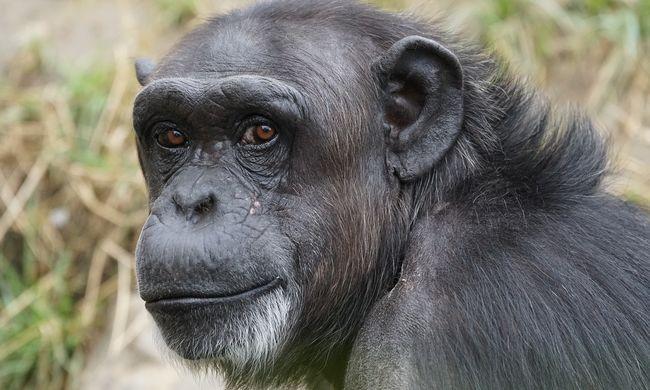 Kíváncsi csimpánz az internet új kedvence - videó