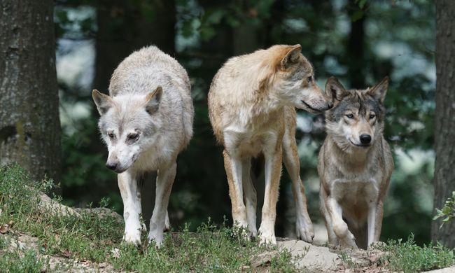 Farkasok költöztek a főváros mellé, üvöltésüket is hallani