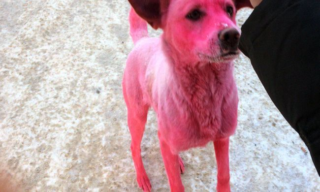 Durva állatkínzás: rózsaszínre festették a kóbor kutyát