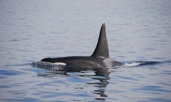 Emberi szavakat utánzott egy fogságban tartott kardszárnyú delfin