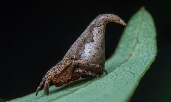 A világ legfurcsább pókja így néz ki