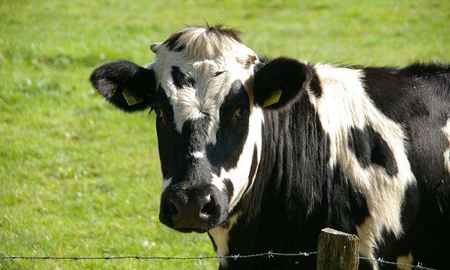 Ráugrott a tehénre a kisfiú, mert apja ráküldte