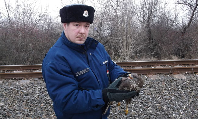 Kétségbeesett egerészölyv hevert a sínek mellett, de a magyar rendőrök megmentették