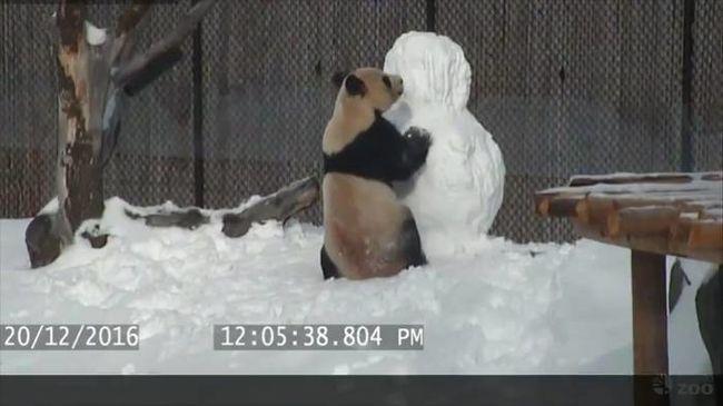 Lefejezte, majd kibelezte a hóembert a panda - videó