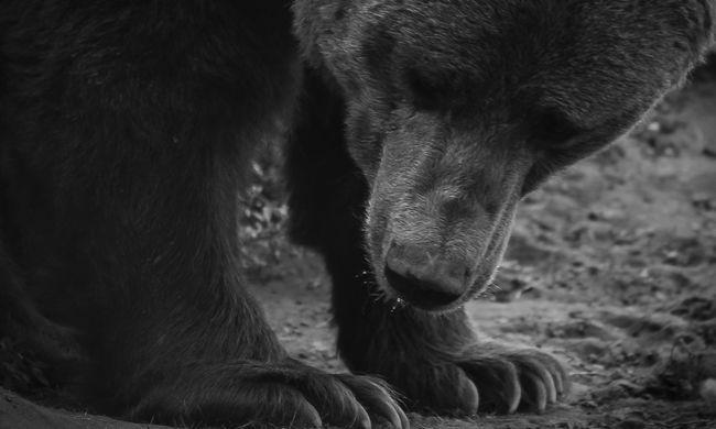 Csak erős idegzetűeknek: kegyetlen módszerrel végeztek ki egy medvét - videó