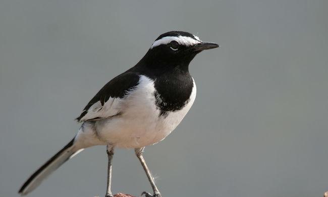 Előbb kezdik a párzást a költöző madarak, ez az oka