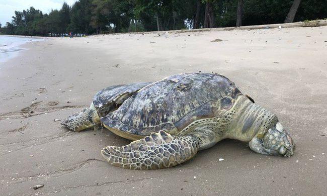 Brutálisan megcsonkított teknőstetemet sodort partra a tenger