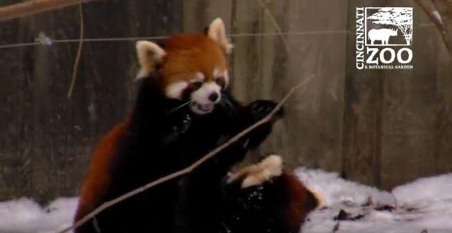 Így játszanak a hóban a kispandák - videó