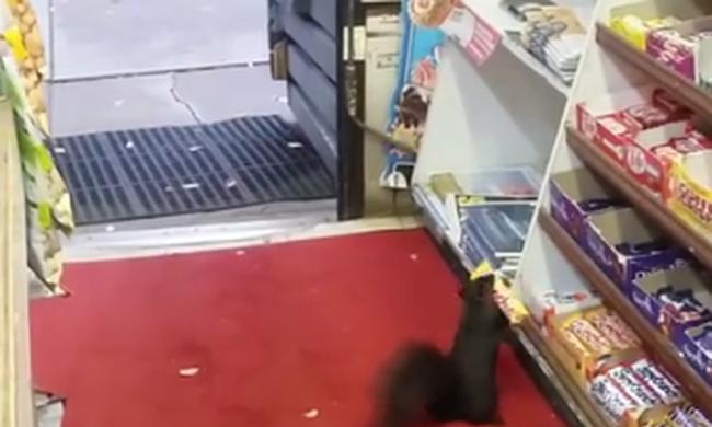 Rendszeresen lopják a csokit egy boltból a szőrös kis tolvajok - videó