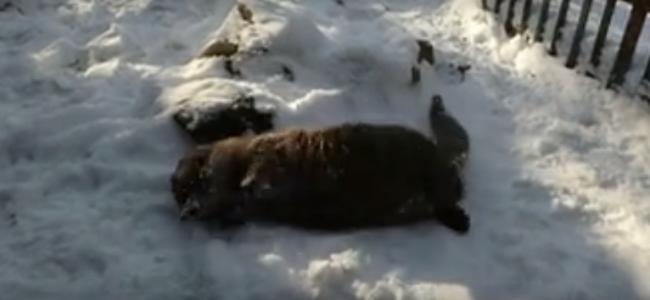 Legalább Lennon, az árva kisvidra nagyon örül a télnek - videó
