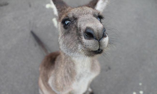 Nekifutásból próbálta leszedni a biciklist a kenguru - videó