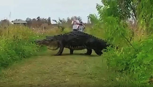 Gigantikus aligátor sétált el a kirándulók mellett - videó