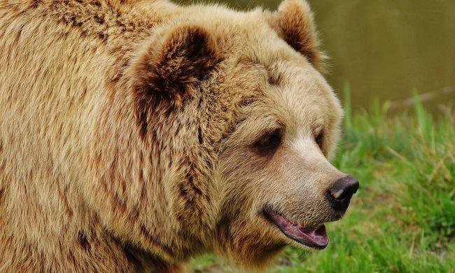 Túl sok a medve és a farkas, a lakók már nem bírják