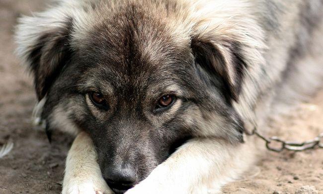 Kegyetlenség: tizenöt évig élt megláncolva a kutya