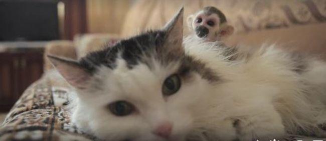 Különleges család: ez az idős macska örökbefogadott egy kismajmot