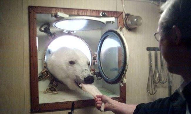 Meghívatta magát a jegesmedve, miután kiszagolta, hogy gofri készül
