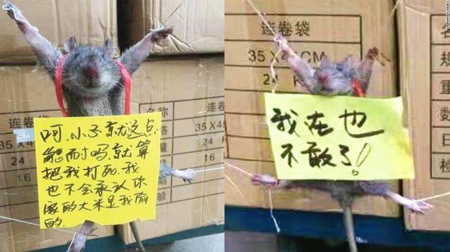 Vicces vagy kegyetlen? Kikötöztek egy rizstolvaj patkányt