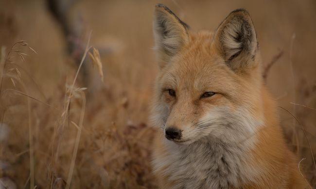 Agresszív róka harapta le az ittas férfi fülét