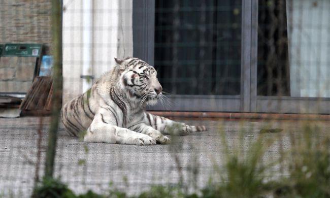 Elszabadult cirkuszi tigris miatt tört ki a pánik