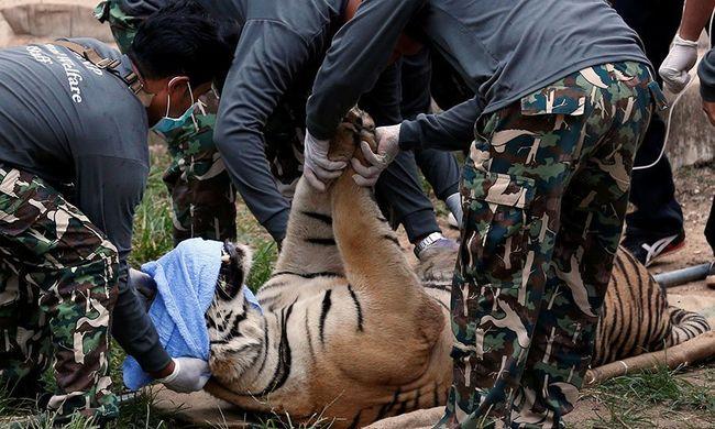 Karom nélküli, gyámoltalan tigris kóborolt az utcákon