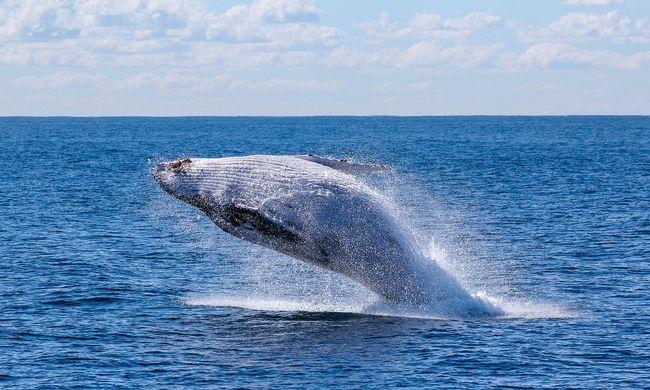 Nagyon megviselte a fogság, cápavédő hálóba gabalyodott bálnaborjat mentettek