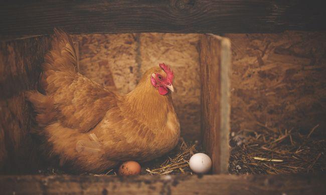 Óvintézkedés vezettek be: csütörtöktől egyetlen csirkét sem szabad kiengedni