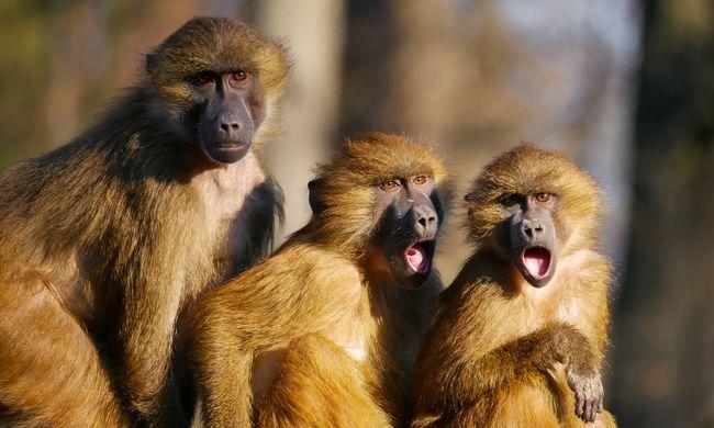 Már a majmok is társkeresőn találnak párt